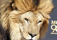 東北虎和非洲雄獅誰厲害?