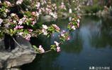 """三四月的五龍潭,櫻花盛開宛若""""千堆雪"""",微風吹過秒變櫻花雨"""