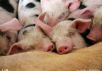 豬群裡有弱豬、僵豬怎麼辦啊?這樣用藥,豬不淘汰!