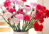 獻給母親的花——康乃馨
