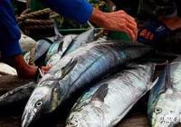 海南哪裡的馬鮫魚最好吃?