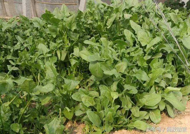 採了草莓再來摘西瓜,還有蔬菜等你來,大棚採摘園促農戶創收