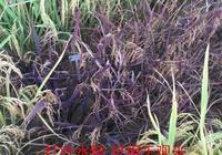 """水稻的""""兩性一期""""對水稻引種和生長的影響"""