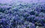 石家莊這個大學裡有一畝二月蘭,每到四月,花開如海,紫氣沖天!
