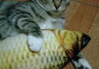 狸花貓被貓界權威組織剔除作為品種貓,難道狸花貓真的不行嗎?為什麼?