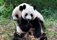 國寶大熊貓的壽命一般是多久,死後又是怎麼處理的,你知道嗎