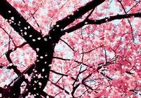 賞梅花,遇迎春,尋梨花,見連翹……這個春天你被撩到了嗎?