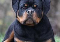 羅威納犬十個不養的理由?