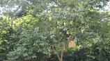 農村野生果樹有個性,掛滿的果子都會隱藏,天氣熱一熱還能出油