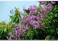 紫薇花開,大葉紫薇與細葉紫薇