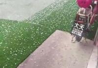 昨天武城等三縣遭冰雹突襲