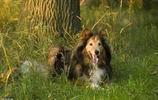 都知道牧羊犬聰明,這8種牧羊犬,是個中翹楚