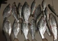 今年冬天魚真好釣,雖然只收獲一條鯽魚,卻意外收穫了很多鯿魚!