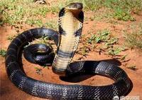 農村山上的眼鏡王蛇你有見過嗎?你覺得最大能長到多少斤呢?