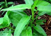 空心菜育苗,除了使用種子之外,還可以使用老莖來進行扦插