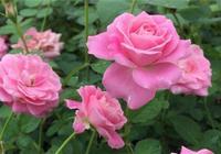 月季長勢差,冬天剪一剪,來年開花猛,呼呼冒花苞!