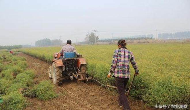 每市斤50元!純收入16萬元!種了30畝胡柴讓這裡的農民發家致富!