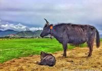 為什麼說犛牛吃冬蟲夏草,我吃犛牛肉乾,犛牛肉乾的營養價值到底有多大?看完你就會想吃西藏高原犛牛肉乾