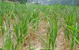 玉米:不得不知的玉米死苗原因