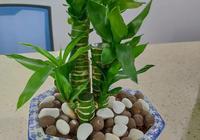 富貴竹用什麼肥料?