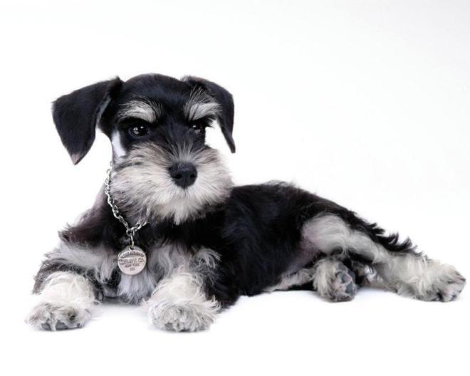 動物圖集:雪納瑞犬