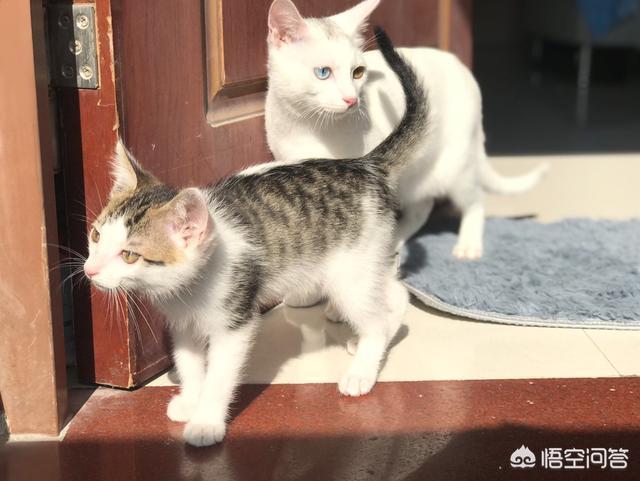 #萌星人成長記#為什麼我家貓喜歡看我上廁所?