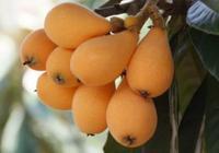 農村有水果只吃皮不吃肉,不認識的以為是枇杷,現在怕是不常見了
