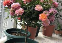 春季養月季,一定要掐芽,開花多10倍,長得枝肥葉壯,爬滿陽臺