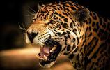 動物圖集:美洲豹