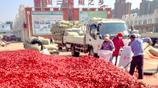 三櫻椒40年前從日本引進,全縣40%耕地種植,如今返銷日本和美國