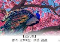 藍孔雀|作者:孟黎 攝影:波波|主編:黃桂章