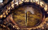 一組鱷魚3D渲染寫實