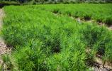 農村人撿松子種在荒地裡,讓它長不高,村民們都說發了