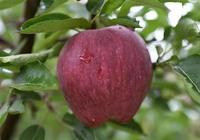 今年水果咋就那麼貴,不但超市、水果店貴,網店也同樣貴紅富士蘋果每斤8元多,為何?
