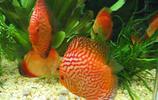動物圖集:七彩魚神仙魚