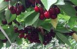 農村家裡有空地別浪費,這些高產水果樹苗,沾土就活當年就能吃