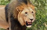 非洲大雄獅