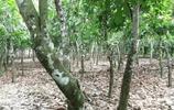 非洲的可可林