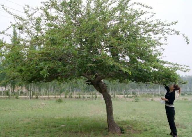 自家院子門前種不得這些樹,因為這樣會帶來很大的麻煩