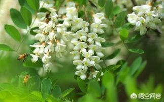 農村的洋槐樹開花了,有蜜蜂釆蜜嗎?洋槐蜜怎麼樣?