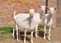 養羊技術分享:農村養羊存在哪些誤區?