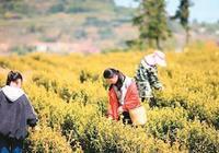 天台山上有黃茶