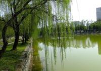 《軲轆體》春向湖邊問柳枝