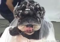 主人帶雪納瑞犬去寵物店做美容,2小時給它紮了一頭的辮子