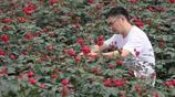 小夥大學畢業回農村,一年賣出5萬盆玫瑰,產值近210萬