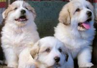 大白熊犬簡直是犬界高富帥,而且肯定還是暖男~