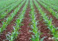 """玉米地裡的""""地老虎""""怎麼才能有效的消滅?要不對玉米根傷害太大了,大家有好辦法嗎?"""