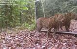 叢林裡放上一面鏡子,這次終於知道大象與豹子誰更聰明瞭