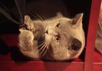 男子因出差將藍貓寄送寵物店,一會兒男子收到視頻,頓時哭笑不得