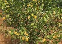 柑橘缺素黃化,這篇文章徹底講清楚